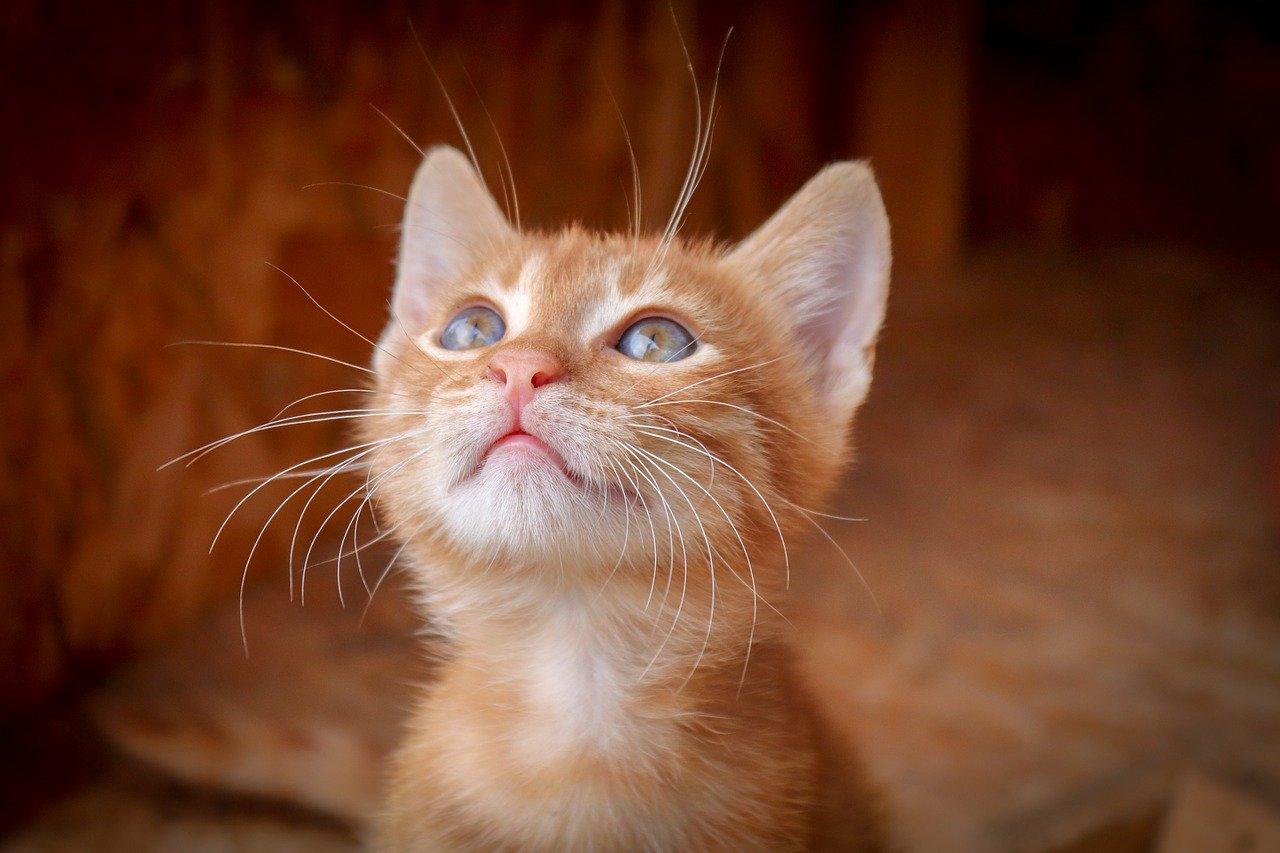 上を見つめている茶トラの子猫