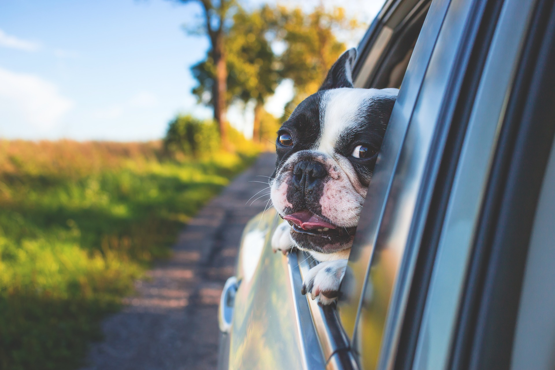 走行中の車の窓から顔を出しているペットのフレンチブルドッグ