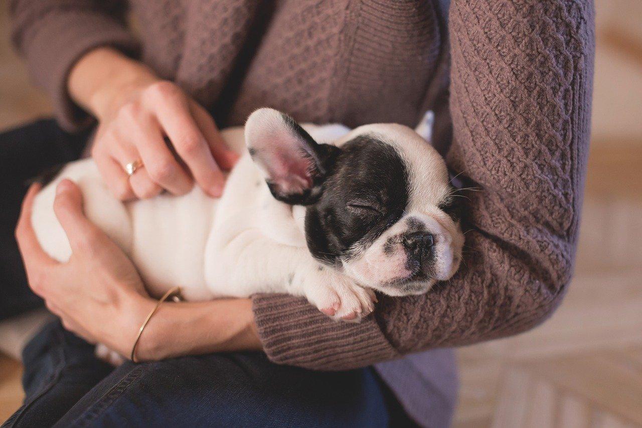 女性に抱かれながら寝ているフレンチブルドッグの子犬