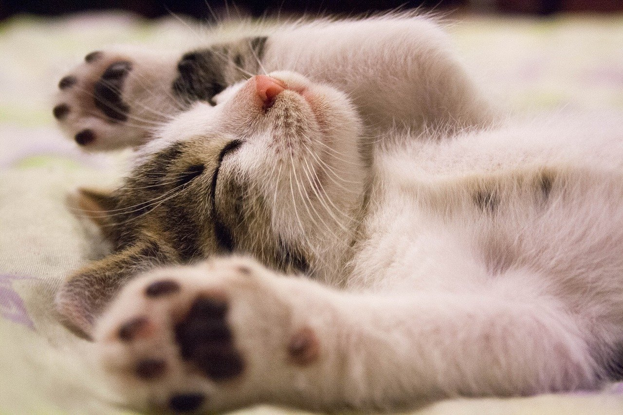 お前足を広げて腹を出して寝ている子猫