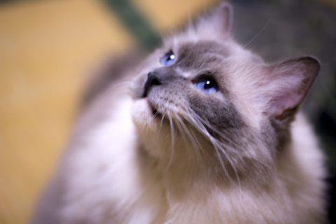 長毛種のペットの猫