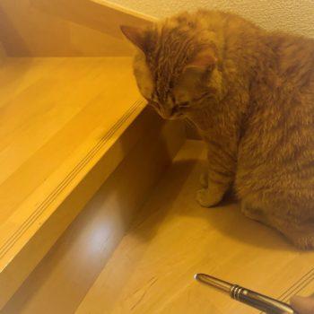 ペンライトに反応している猫