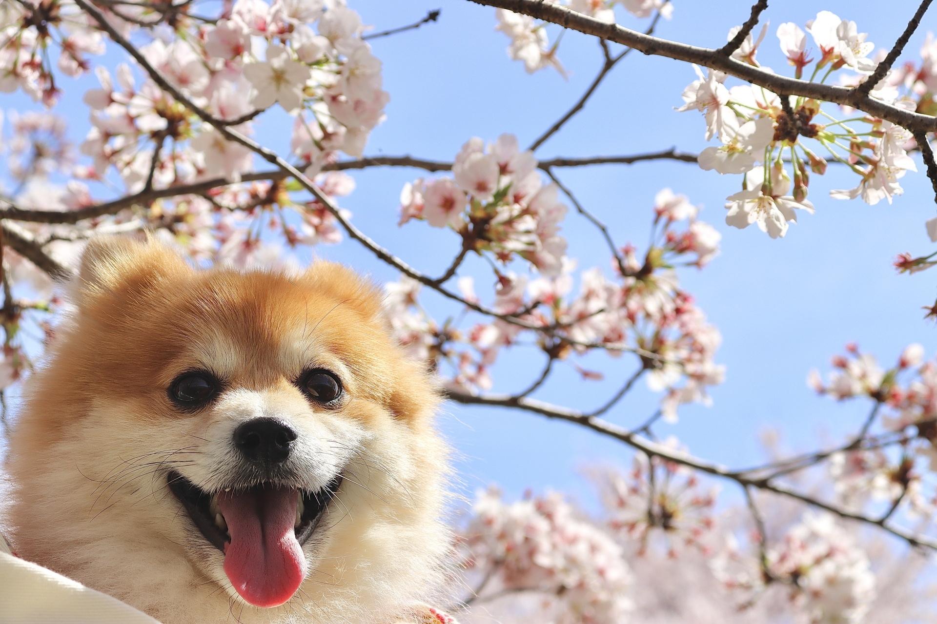 桜の木を背景に微笑んでいる犬。