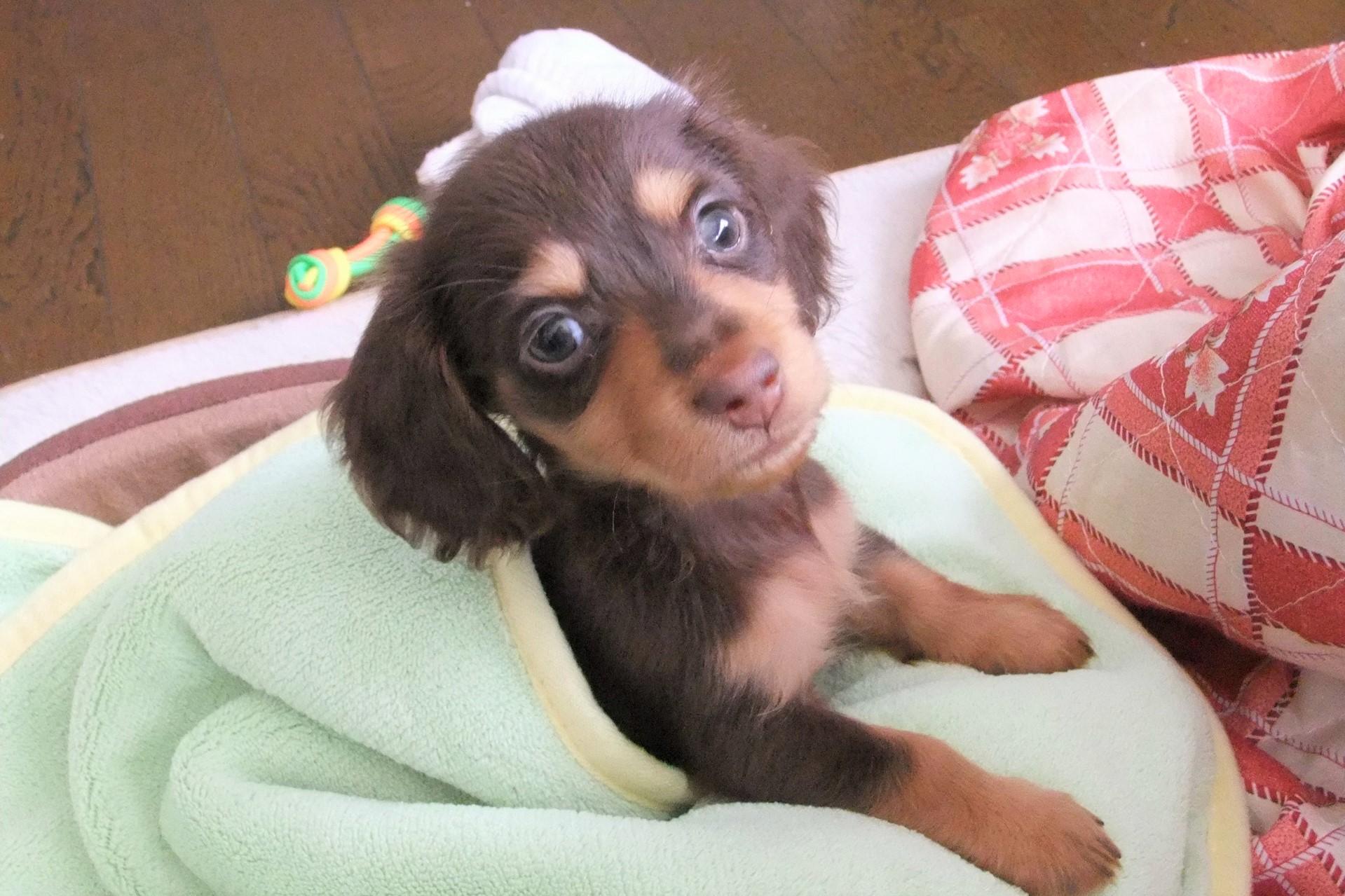 こちらを見つめているミニチュアダックスフンドの子犬。
